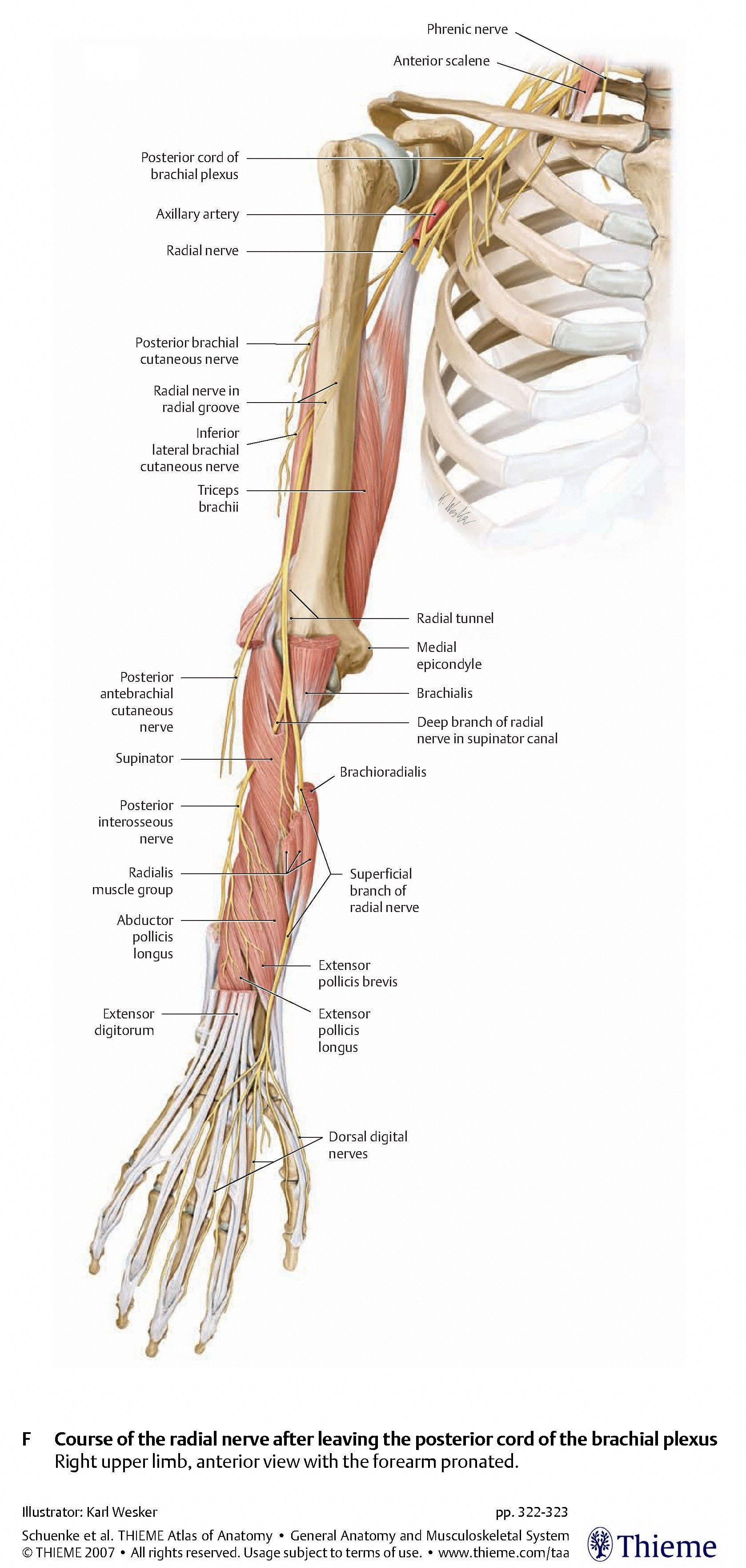 radial nerve  pin radial nerve