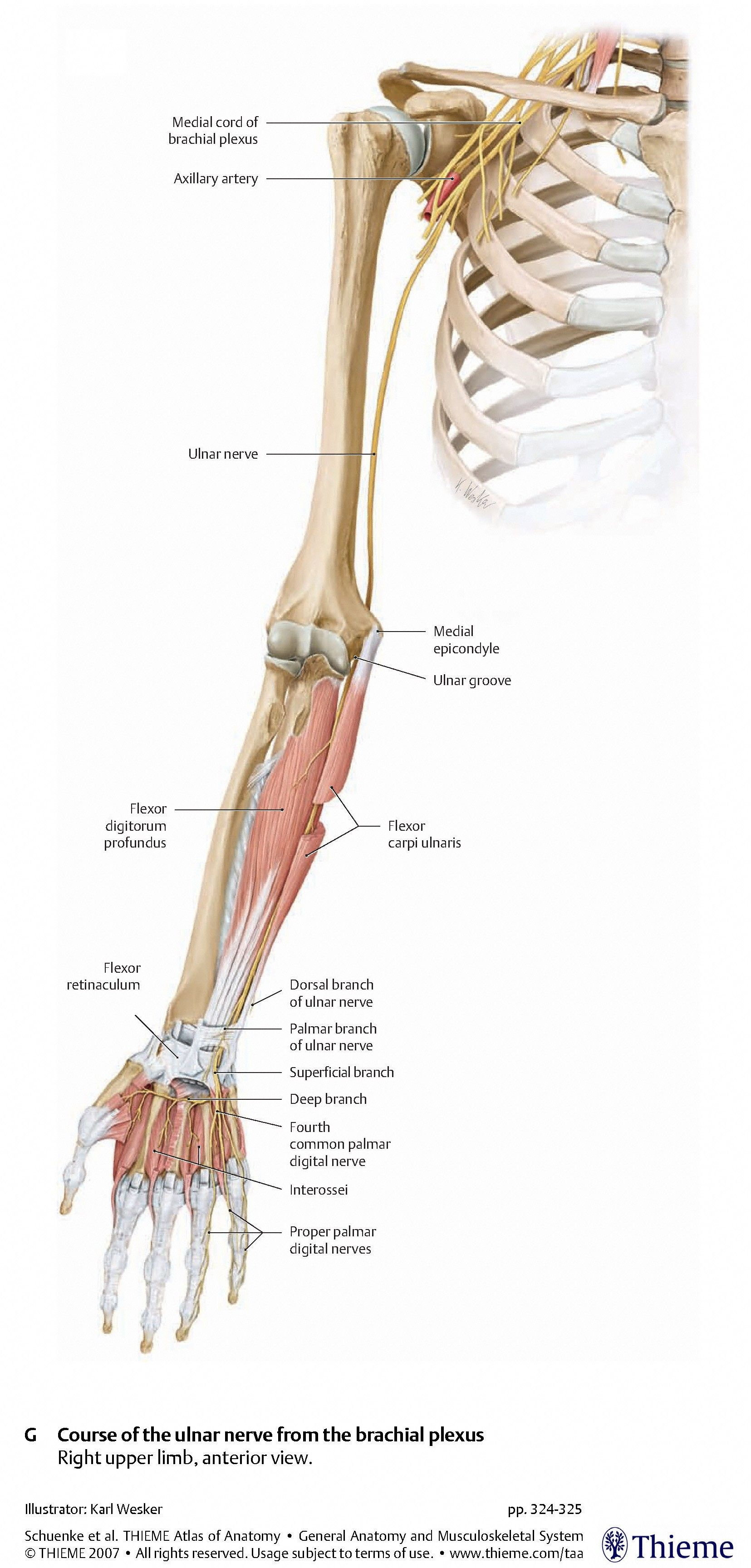 Images of Ulnar Nerve Anatomy - #SpaceHero